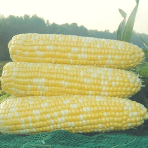 Sweet Corn (Xtra Tender)