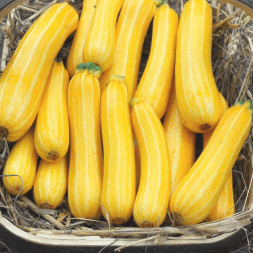 Summer Squash (Yellow or Green)