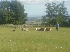 Eve during her herding lessons. She had good self control and would sit and watch rather than pressurise the......