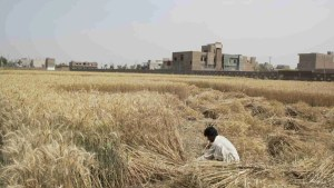 Pakistani man harvests wheat by hand
