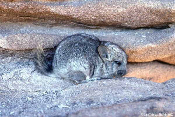 Shorttailed Chinchilla Chinchilla chinchilla