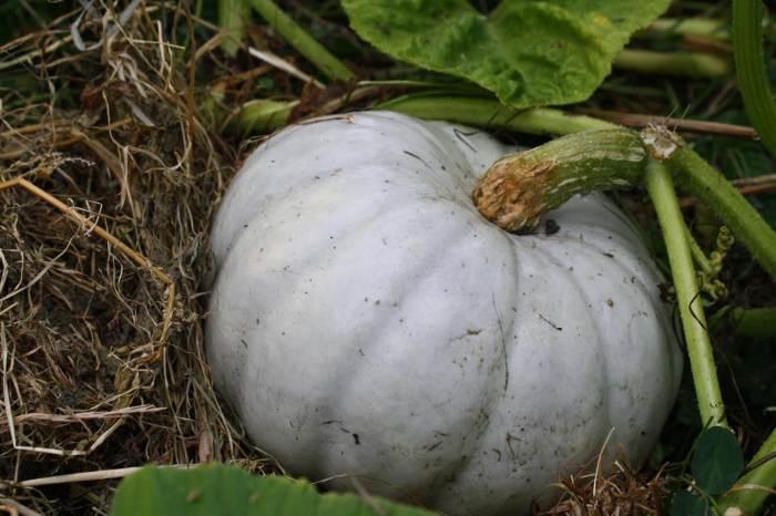 a pumpkin in waiting
