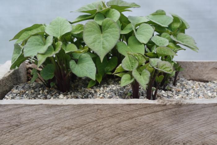kumara shoots