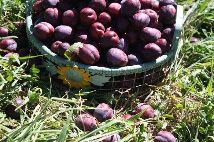 Black Doris Plum harvest