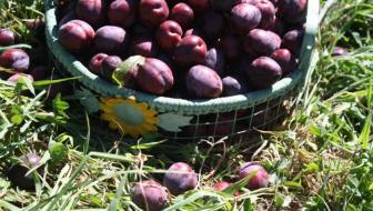 Black Doris Plum harvest
