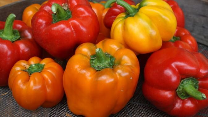 pepper harvest