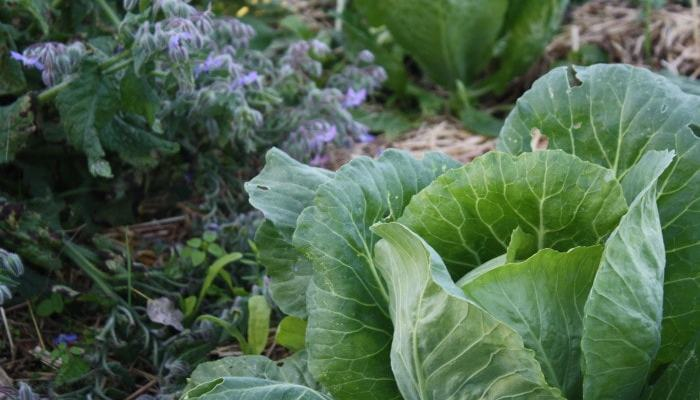 April in the Vegie Patch (and how to grow Brassicas)