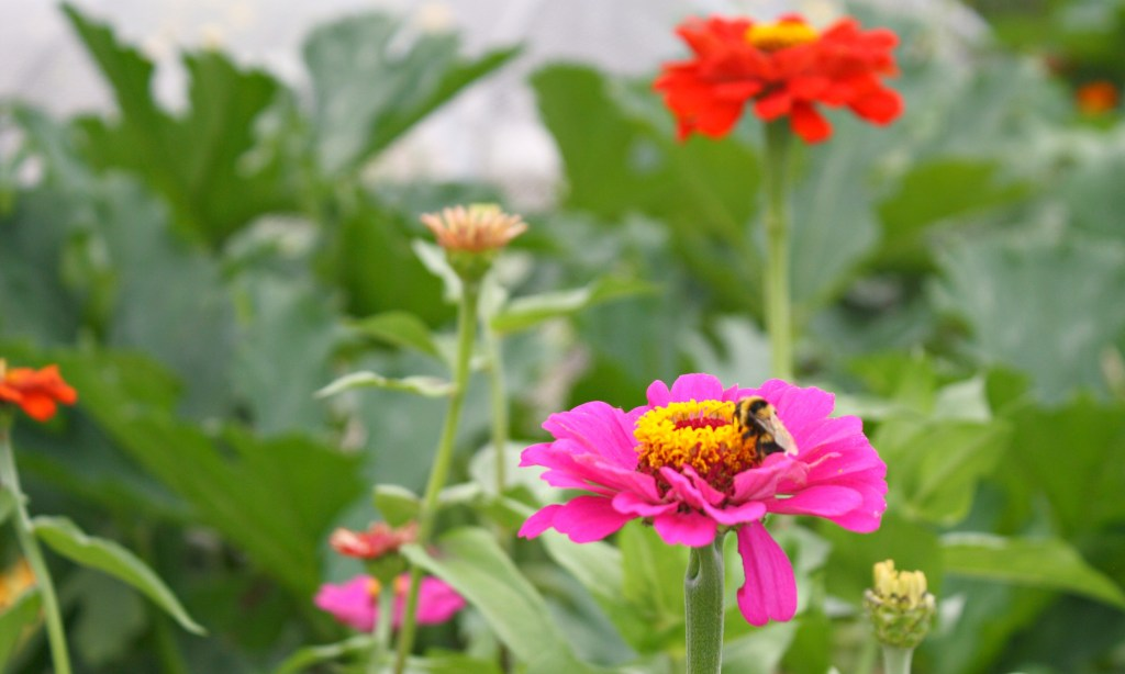bee on zinnia