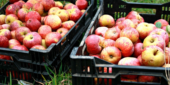 Testing Apples for Ripeness and Storing the Harvest