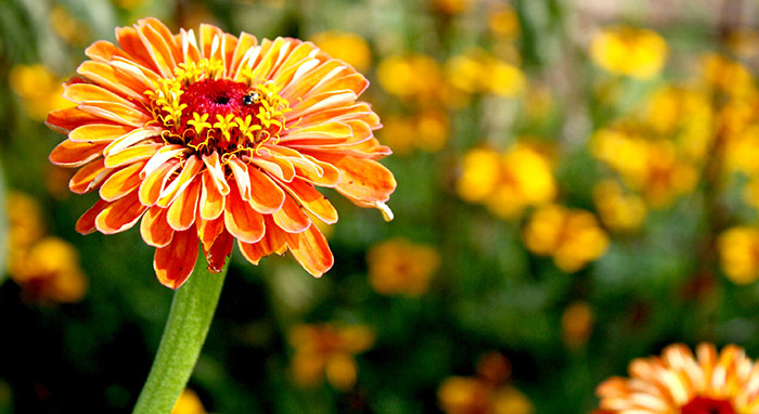 The Joy of Zinnias at Edible Backyard NZ Organic Garden Training