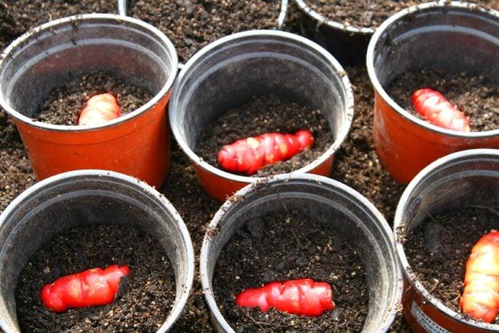 planting-yams