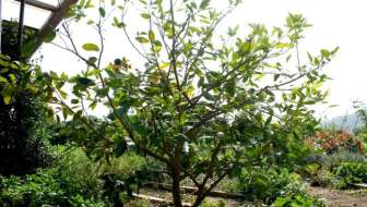 What To Do When Citrus Loose Their Leaves
