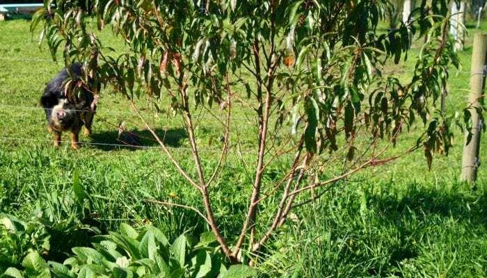 kays peach seedling 3 yr