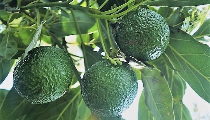 How To Grow An Avocado: Fruit Of The Gods!