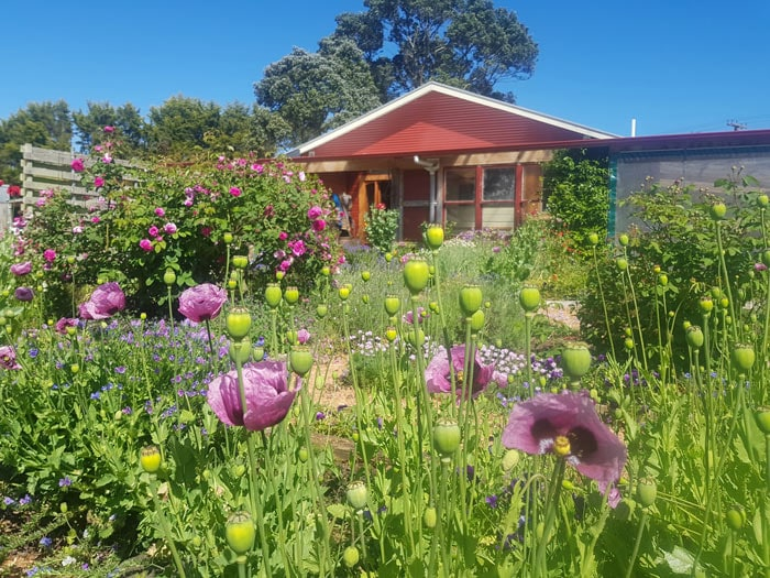 Beautiful mauve poppies in the Edible Backyard potager
