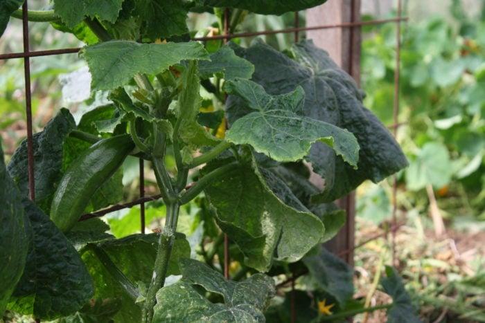 cucumbers coming