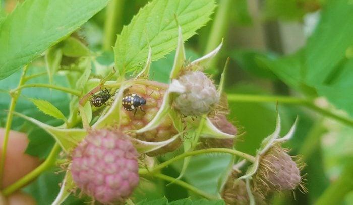 shield bugs in berries