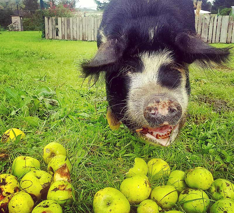 Our beloved pig Nellie eating green apples at Edible Backyard