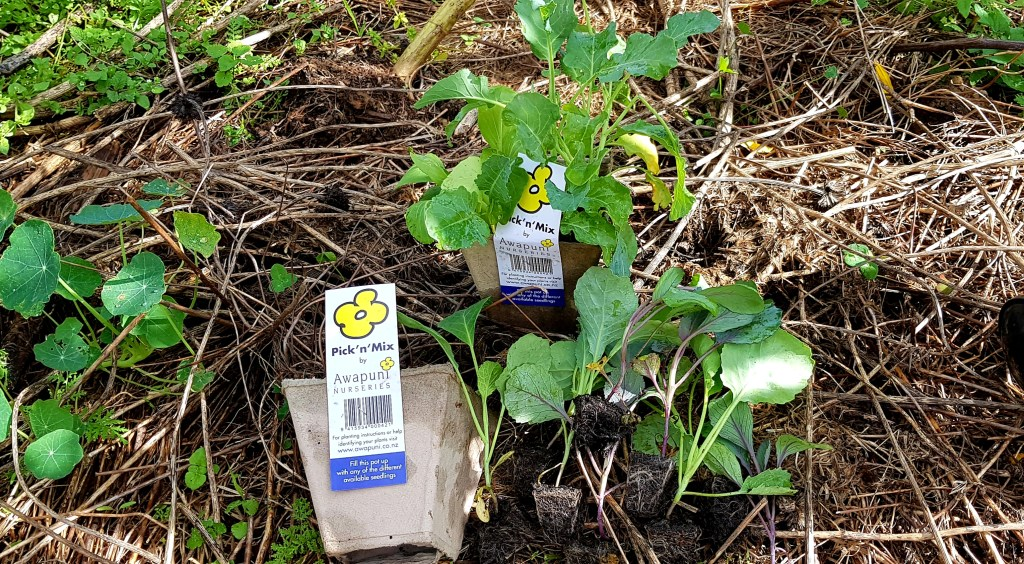 Awapuni pick and mix seedlings in cardboard punnets