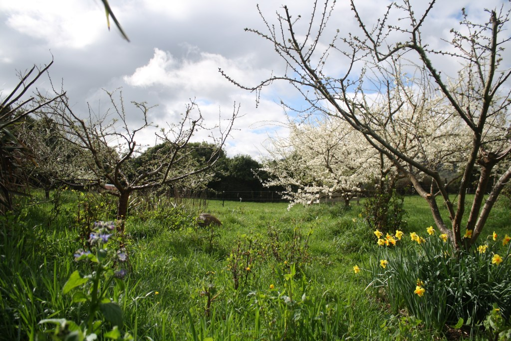 plum trees coming into blossom