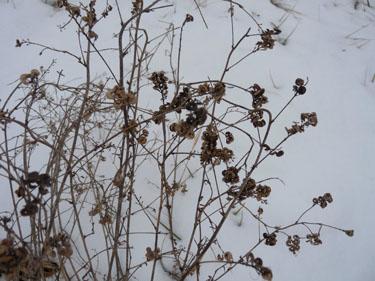 Alfalfa Pictures Flowers Leaves and Identification  Medicago sativa
