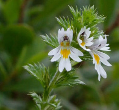 Eyebright Pictures Flowers Leaves And Identification