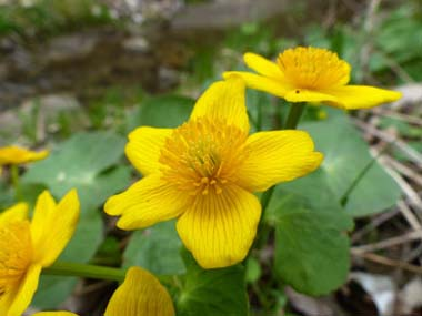 Marsh Marigold Pictures Flowers Leaves and