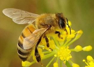 Cambiamenti climatici: Un ape sopra un fiore, sbocciato anch'esso in anticipo