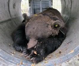 L'orso Papillon, sedato nella trappola tubo