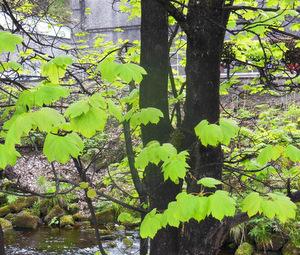 Blackened boughs in Speyside