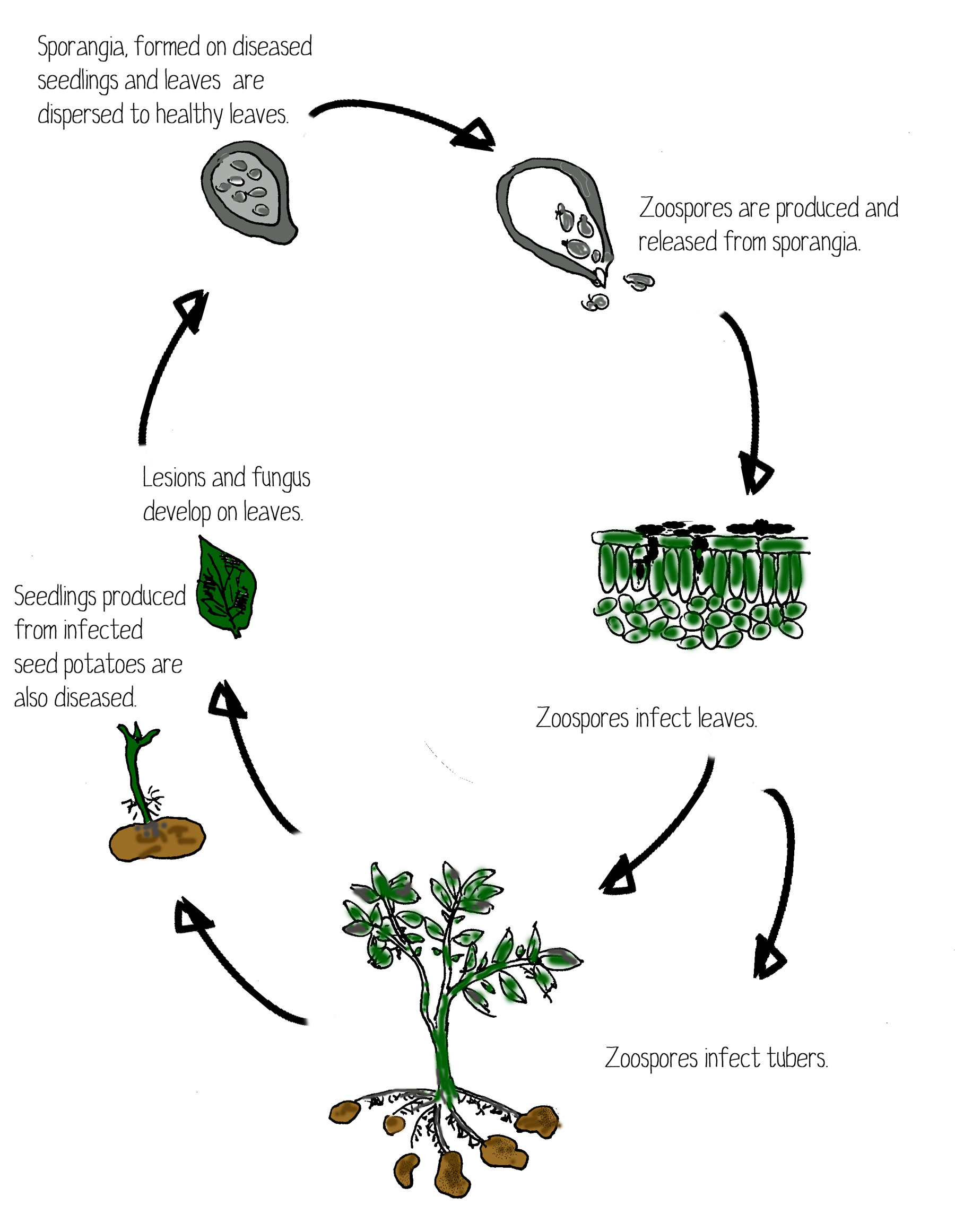 Life Cycle Of Potato Blight