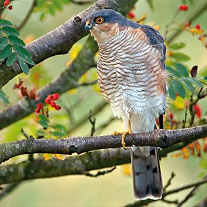 What do sparrowhawks look like  Edinburgh Hawkwatch