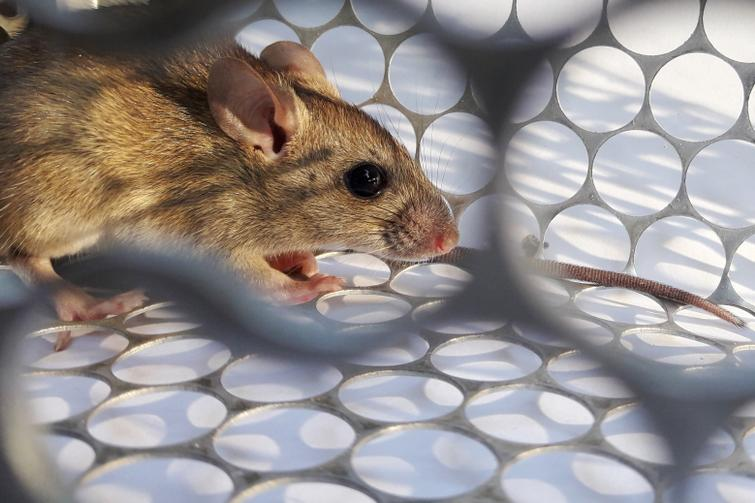 What is Hantavirus? Rumours are circulating about a new virus in ...