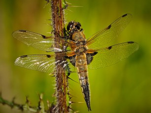 Four Spotted Chaser by Graham Morrice