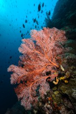 Fan coral- indonesia
