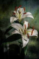 Morning lilies