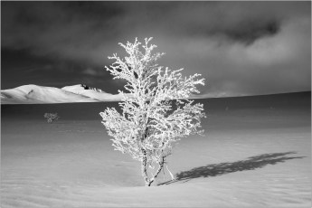 Frosted tree in asnowfield-1