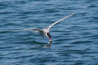 Tern with catch-2.jpg