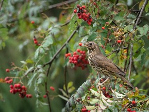Song thrush with berry.jpg