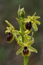 Ophrys araneola.jpg