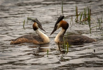 Greatcrested grebe displaying