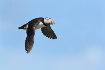 Puffin flypast