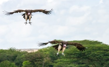 White-headed vultures landing-2