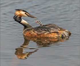 Grebe with chick