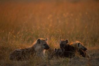 Hyenas at Dawn