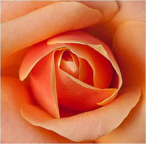 15_Rose