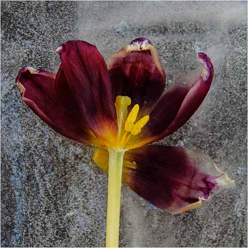 Iced Tulip by Ian McNaught