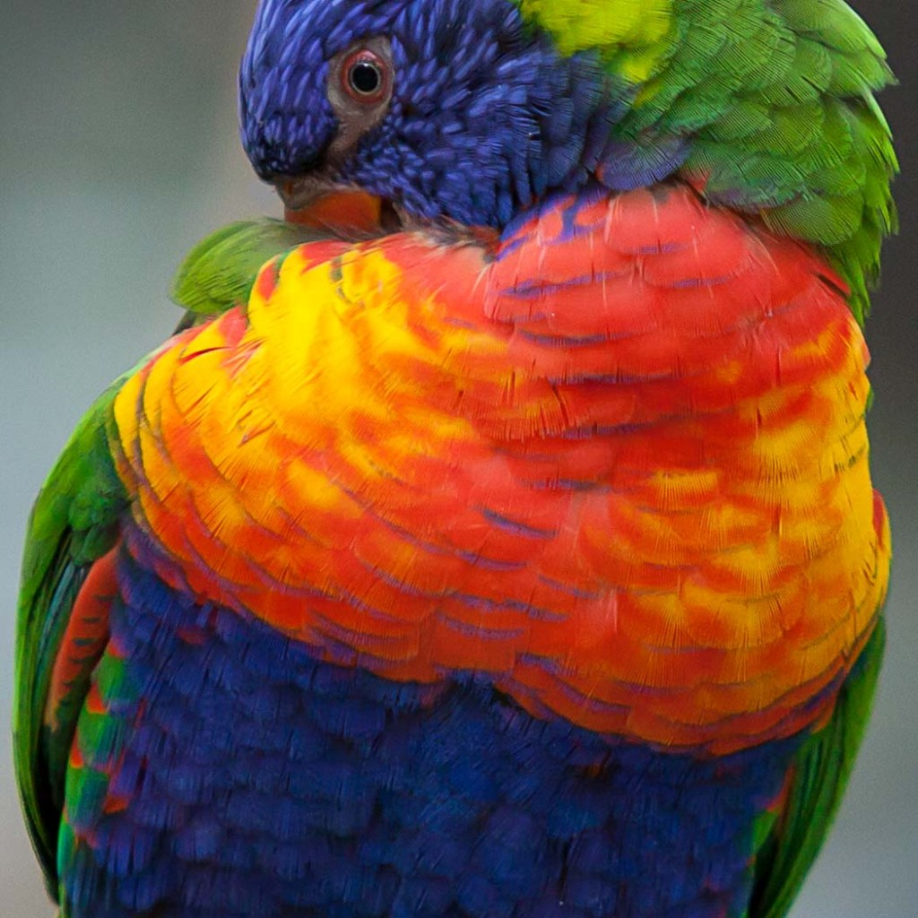 """""""Rainbow Lorikeet"""" by Doug Berndt"""
