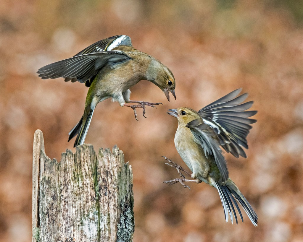 Squabbling Finches