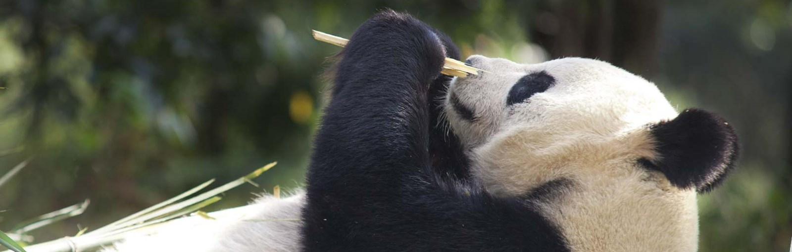 Edinburgh Zoo Live Panda Cam Edinburgh Zoo
